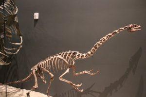The skeleton of Falcarius as seen in the Natural History Museum of Utah